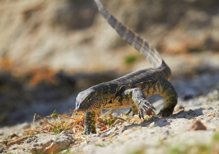 Water monitor on the banks of the Chobe River in Southern Africa  Focus on face, Shallow DOF photo