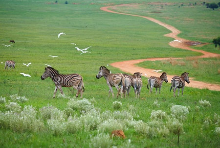 south park: Young zebra in the wild - spring grass