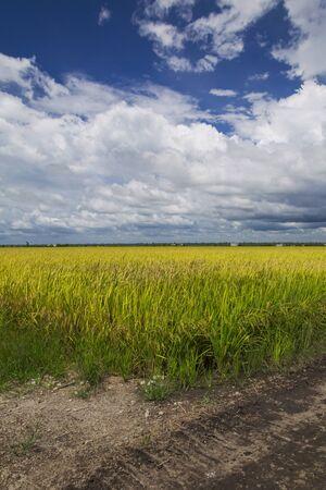 paddy field at sekinchan kuala selangor Stock Photo