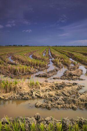 paddy fiend at sekinchan kuala selangor Stock Photo