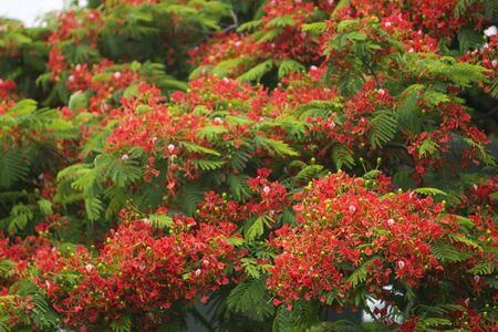 beautiful flowers in flame trees.   photo