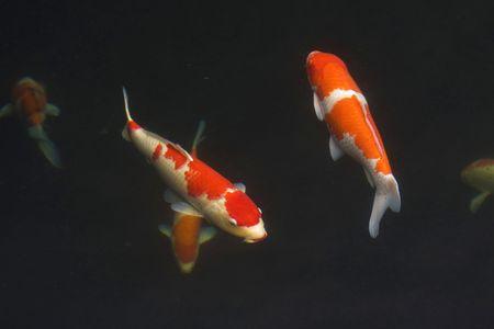 coi: Koi fish in pond Stock Photo