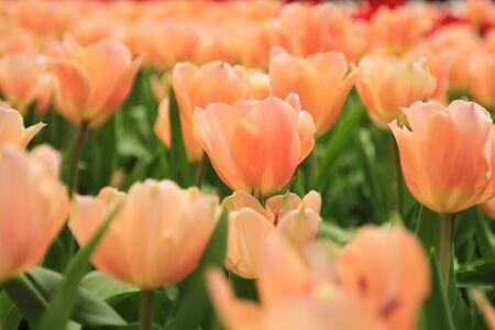 ornage: ornage tulip Stock Photo