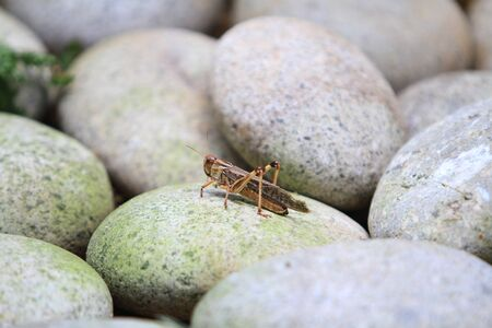 ghost rock: Grasshoppers Stock Photo