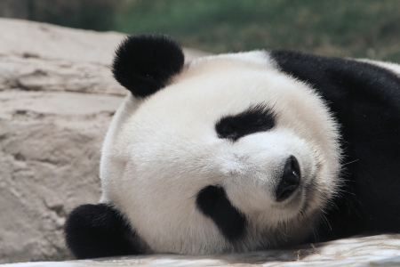 Panda bear sleeing photo