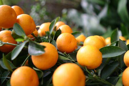 citrus reticulata: Citrus reticulata Stock Photo