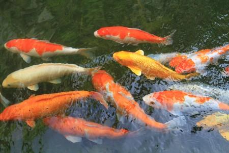 coi: gold fish