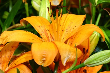 lily Stock Photo - 10992592