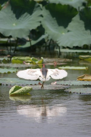 everglades national park: Egret Stock Photo