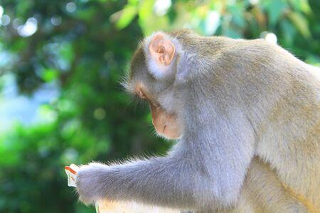 macaque: Macaque Stock Photo