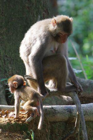 macaque: Macaque Banque d'images