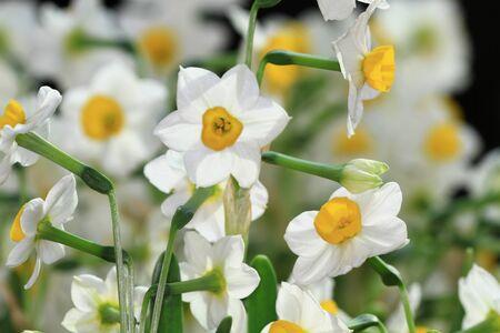 Narcissus tazetta Stock Photo - 8880308