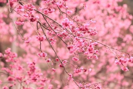 櫻花 版權商用圖片 - 11231795