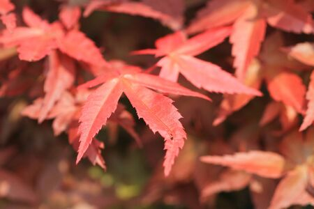 red leaf photo