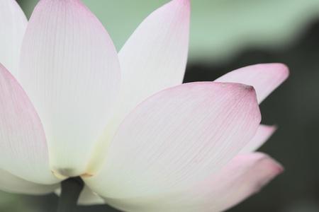 Lotus 版權商用圖片 - 9741092