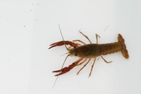 palinuridae: Palinuridae