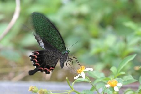 papilio: Papilio bianor butterfly Stock Photo
