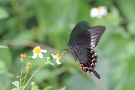 Papilio bianor butterfly photo