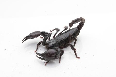 Scorpio 版權商用圖片 - 11202321