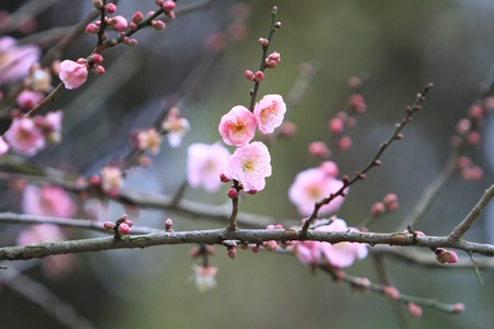 Prunus mume Stock Photo