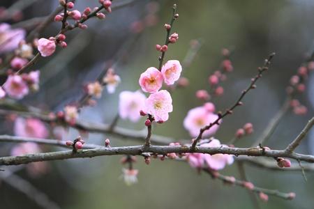 Prunus mume Zdjęcie Seryjne