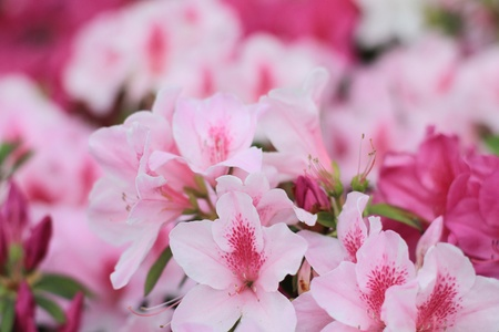 Rhododendron Stock Photo - 13036180