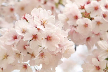 JAPANESE CHERRY BLOSSOM IN SPRING  版權商用圖片