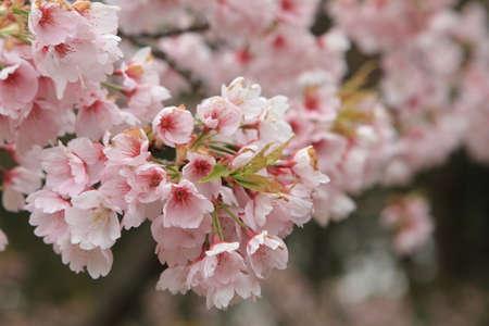Sakura Stock Photo - 13601801
