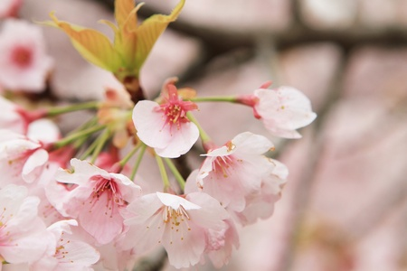 Sakura Stock Photo - 13601804