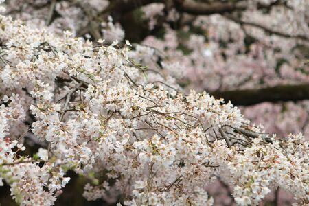 Sakura Stock Photo - 13601829