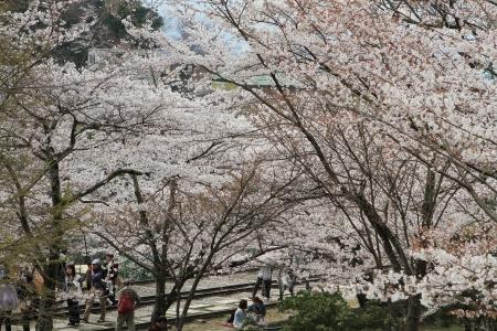 Sakura Stock Photo - 16605487