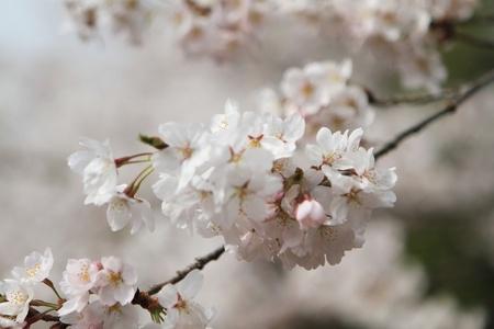 Cherry Blossom Stock Photo - 15746082