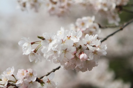 Cherry Blossom Stock Photo - 15746082