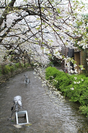 sakura, Kyoto City photo