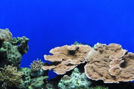 goniopora: Coral In Aquarium
