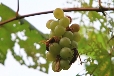 Vitaceae Stock Photo - 16108835