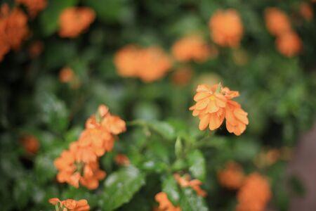 ornage: ornage flower