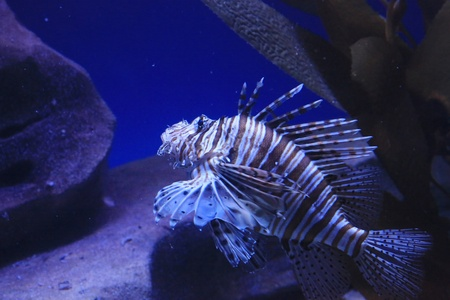 lion fish Stock Photo - 16961087