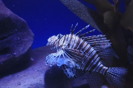 lion fish Stock Photo - 16961087