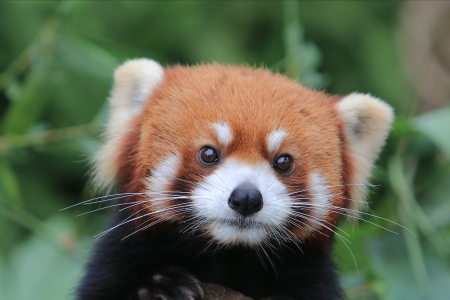 Red panda Stock Photo - 16682583