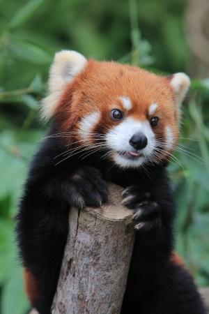 小熊貓 版權商用圖片 - 16682584
