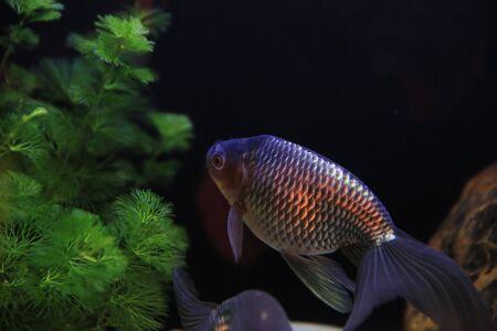 gold fish Stock Photo - 16541319
