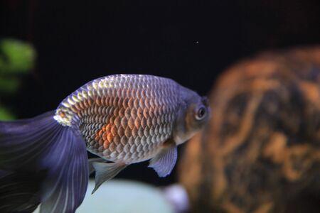 gold fish Stock Photo - 16541322