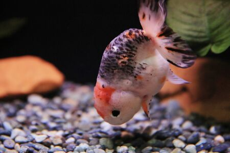 gold fish Stock Photo - 16541317