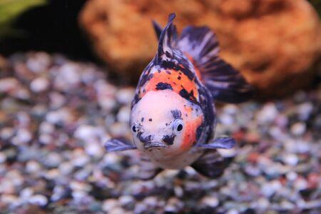 gold fish Stock Photo - 16541299