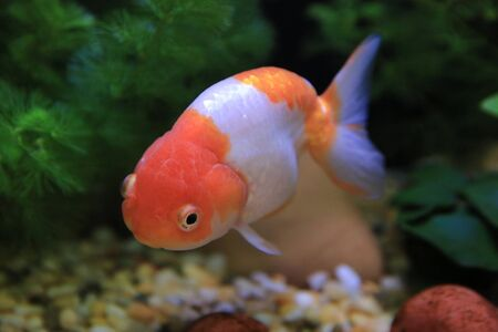 gold fish Stock Photo - 16541320