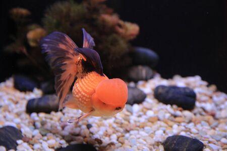 gold fish Stock Photo - 16541323