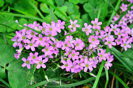 oxalidaceae: Oxalidaceae Stock Photo