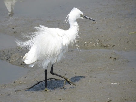 Snowy Egrets  photo