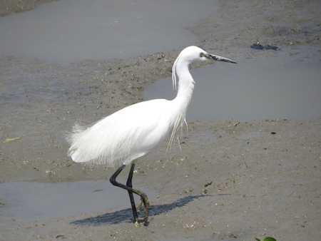 and egrets: Snowy Egrets  Stock Photo